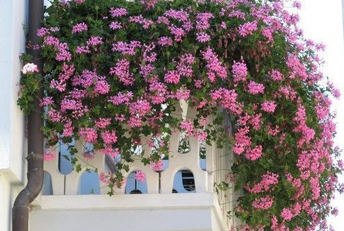 Вьющиеся растения для балкона: выбор и уход (фото)
