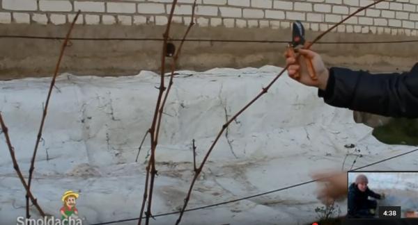 Прямой путь к увеличению урожая - обрезка винограда на зиму